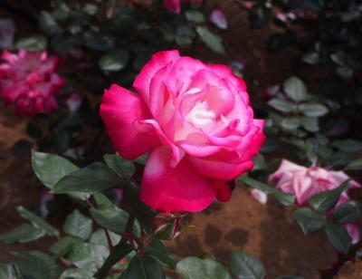 季節の花を求めて♪ ふらふらお散歩 ~三ノ輪橋停留場~