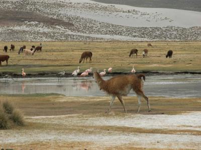 南米ボリビア国ポトシ県ウユニ塩湖の塩のホテルとウユニ塩湖周辺で放牧するヤマとビクニャー