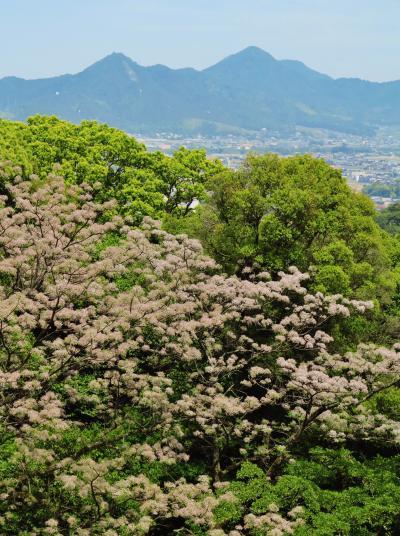 琴平-3 金刀比羅宮の下りは裏参道から ☆神苑林にセンダンの花咲いて