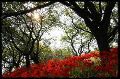 緋色のゆりかごに抱かれ、桜は眠る。四季折々≪権現堂堤≫