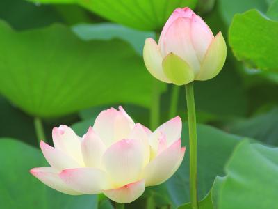 レンコンの花(ハス)を見に行って来た