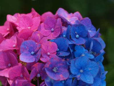 2013 幸手市 権現堂の美しい紫陽花を見たくて 上