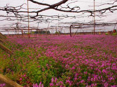 爆弾低気圧接近中に伺った笛吹ワイン★春のぶどう畑と桃の花見学