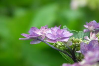 藤森神社の紫陽花!2013年