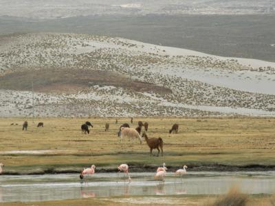 南米ボリビア国ポトシ県ウユニ塩湖周辺の風景とヤマ、野生のビクニャーとピンク色のフラミンゴ