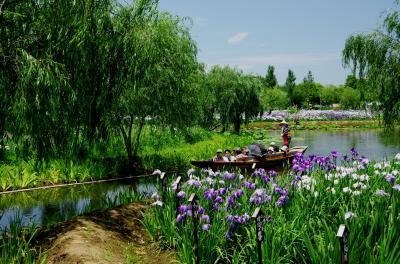 柳と紫の咲き乱れる夏の和風景~水郷佐原花菖蒲祭~