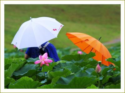 Solitary Journey[1223]雨でもGOGO!二千年のときを経て現在に甦った淡いピンクの古代蓮<荒神谷ハスまつり>島根県出雲市