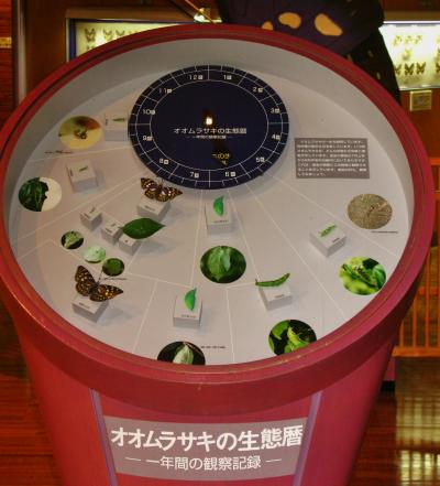 北杜Walk-3 オオムラサキセンターを見学 ☆蝶の幼虫・蛹を観察、羽化はもうじき