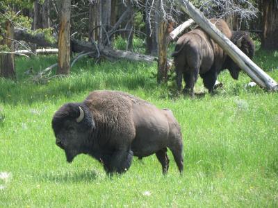 夏のワイオミング Yellowstone National Park