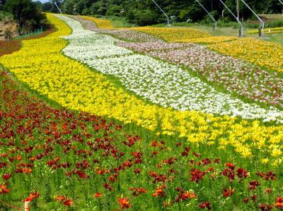 ちくさ高原のゲレンデを彩る150万輪のゆり
