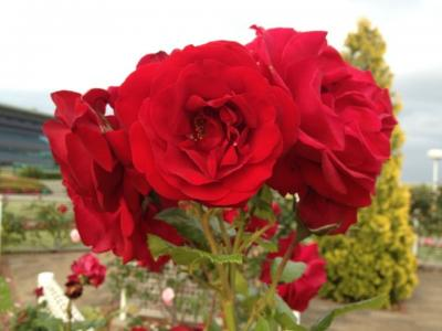 東京競馬場のバラ見学へ