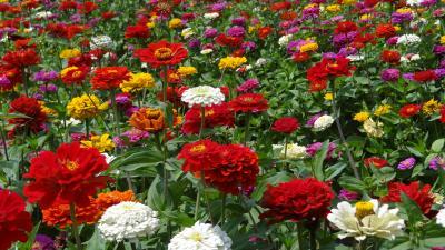 ブルーベリーを求めて・・・花の都公園の百日草