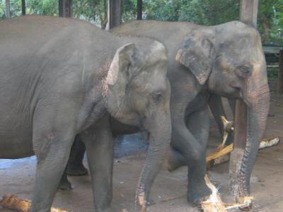 圧巻!象の孤児院