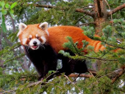 真夏のレッサーパンダ紀行【7】 茶臼山動物園 レッサーパンダハウスは4匹のおチビの大運動会!! 残念・・・夕方からの大雨でロン君イベントは見れませんでした