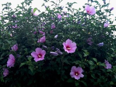 2013 夏の釜山より (5)ムクゲの花が咲いていました (*^_^*)
