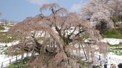 三春の滝桜と雪