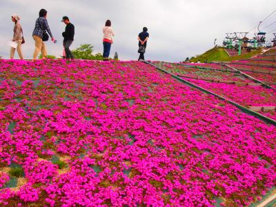 茶臼山高原の芝桜2013