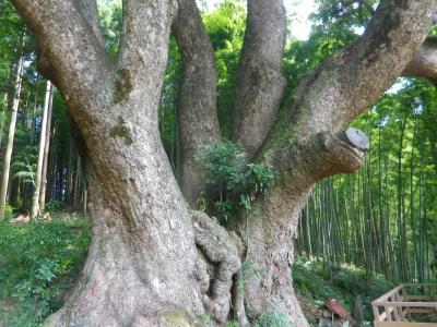越生梅林周辺にある大楠や西行杉を見て歩く