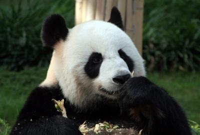 香港・マカオ・台北・成都・雅安のパンダさんを訪ねて(マカオ編)