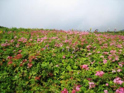 今年も天空のお花畑へ~ 伊吹山の夏  H25・8月