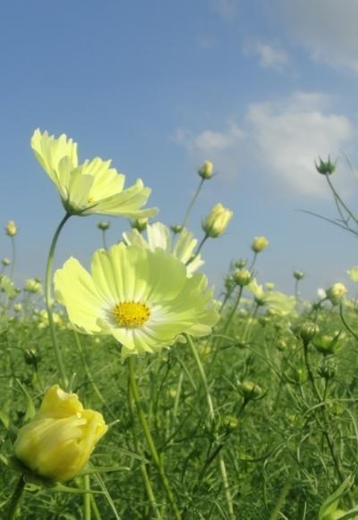 2011年 10月  1000万本のコスモスが咲く鴻巣の「荒川花街道」は4.5kmで見ごたえ抜群
