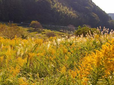 自然あふれる菊川・千框の棚田☆ススキとセイタカアワダチソウの見事な共演