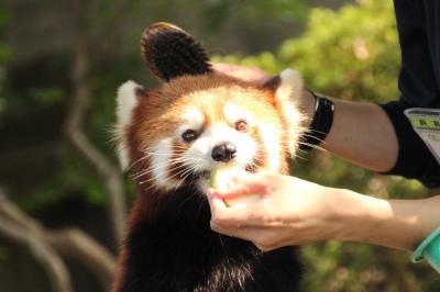 東北新幹線に乗って2度目の仙台・八木山動物公園~レンズの不調に泣きながら(4)レッサーパンダ編その2:ブラッシングも爪切りもOKな、子犬みたいなティエンくん&みちがえるように可愛くなったクルミちゃん