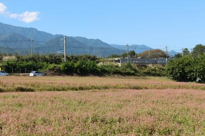 初秋の伊那路「赤そばの中を走り抜けるJR飯田線」