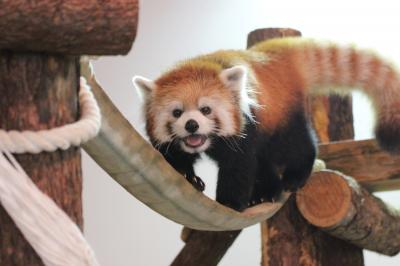 長野新幹線に乗って茶臼山動物園までレッサーパンダの赤ちゃん詣2013(3)屋内のレッサーパンダ・ジュニアスクールのケンシンくん、くるりん尻尾のサチちゃん、そしてノゾムくんにネネちゃん、みんなすっかり大人びたと思ったら、まだまだやんちゃっ子@