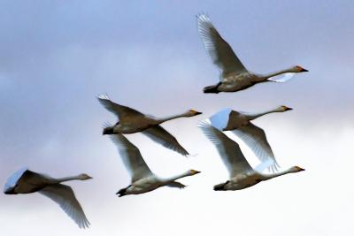 10月6日 瓢湖に白鳥が来ました。その白鳥に会いに。そして 元気になる温泉と身体に優しい食べ物を求めて!
