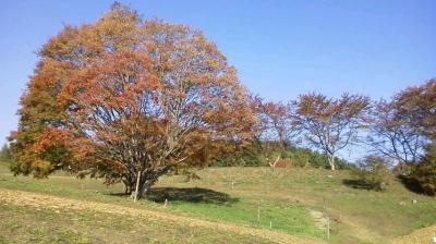 紅葉狩り ― 大カエデ