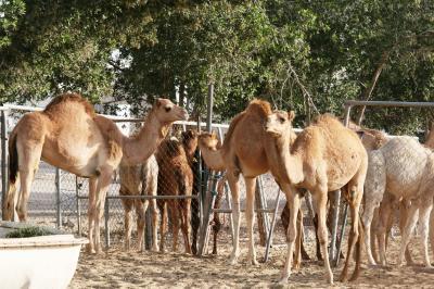 2011冬、シリア等・中東旅行記(3)ドーハ・ラクダ市場、中央野菜市場