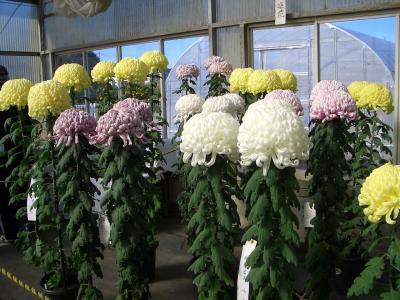 秋の祭典・菊花展示会を訪ねて