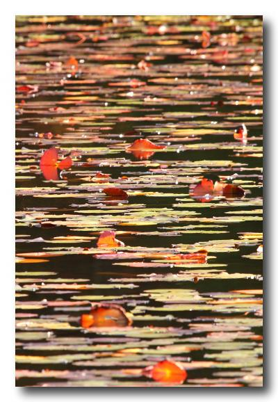 Solitary Journey [1287] 色づいた睡蓮の葉っぱが整然と並んでいました♪秋色に染まった自然探勝路<極楽寺山>広島県廿日市市
