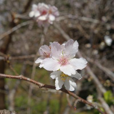 四季桜を見に小原まで。こんなにたくさん四季桜が咲いているとは思わなかった。