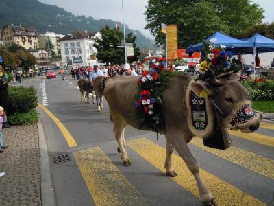 スイス:リギ山の上から麓町に牛達が戻ってきました!【スイス情報.com】