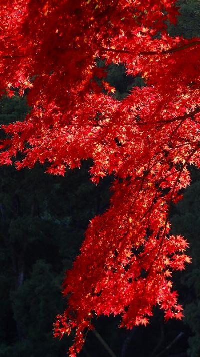 熱海梅園の紅葉 下巻