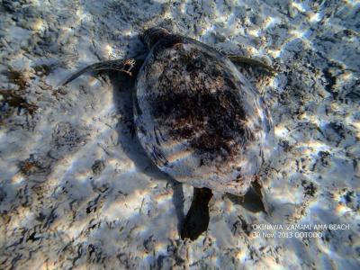 沖縄 慶良間諸島 座間味島 阿真ビーチのウミガメさん