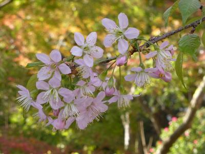 東大の本郷キャンパスでヒマラヤ桜と銀杏の紅葉