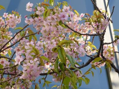 丸の内のヒマラヤ桜 2