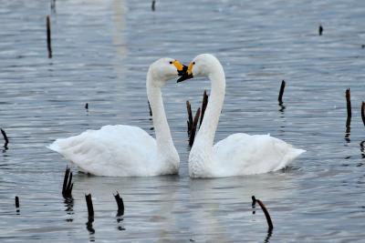 今がピーク?瓢湖白鳥達を見に、そして阿賀野川に沿う様に走る磐越西線で、撮る・乗る・撮る・乗る堪能してきました