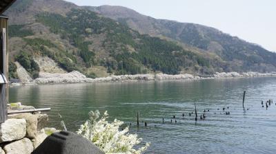 海津大崎の桜と鮒寿司 メタセコイヤ並木から在原業平伝説の村を行く