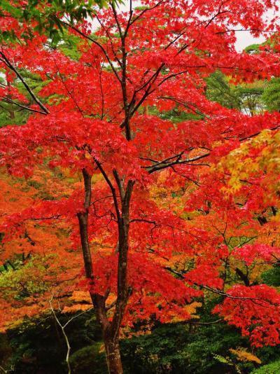 弥彦-4  弥彦公園 もみじ谷;錦秋 紅葉真っ盛り  ☆観月橋付近が見ごろ