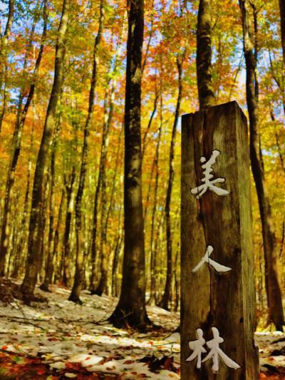 松之山 美人林 雪野に林立するブナ ☆黄葉の容姿を池に映して