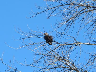 スコーミッシュ(2/全3): ハクトウワシ越冬地 (ブラッケンデール・イーグル州立公園)