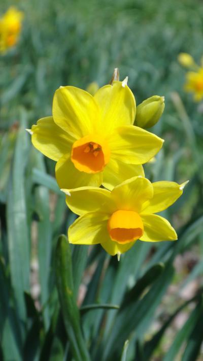 横井山緑地公園の水仙は咲いたかな?