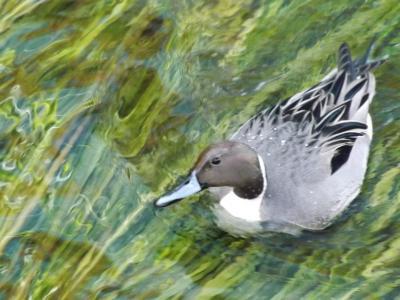 東京都世田谷区:冬の仙川に来た鳥