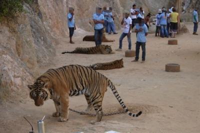 「Haruka in Thailand & Cambodia」 6日目後編 ゾウに乗り、トラにさわる