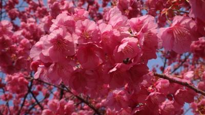 土肥温泉 万福寺の伊豆土肥桜は見頃でした。