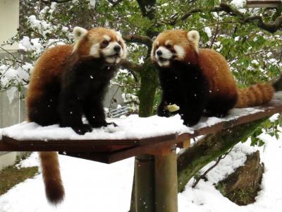 雪のレッサーパンダ紀行【4】 いしかわ動物園 期待のアクア君とアヤメちゃんペアはなんだかとてもいい感じ♪ & ネコたちの谷に癒されました